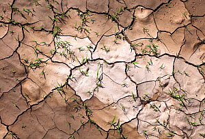 Grass growing through cracked mud with imprints of rain drops after heavy rains in the desert. Sossusvlei, Namib Naukluft National Park, Namibia. February 2011. Non-ex.  -  Hougaard Malan