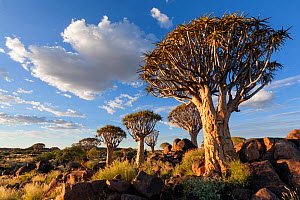 Quiver trees below a cloudy summer sky. Quiver Tree Forest, Keetmanshoop, Namibia. March 212. Non-ex. - Hougaard Malan