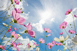 Flowering cosmos against a sunny blue sky. Free State, South Africa, March. Non-ex. - Hougaard Malan