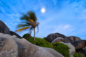 Palm bending in the wind below a full moon. La Digue Island, Seychelles. October 2012. Non-ex.  -  Hougaard Malan
