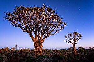 Quiver trees below a twilight sky and the first stars. Quiver Tree Forest, Keetmanshoop, Namibia. February 2012. Non-ex. - Hougaard Malan