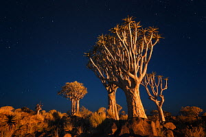 Quiver trees below early night sky. Quiver Tree Forest, Keetmanshoop, Namibia. February 2012. Non-ex. - Hougaard Malan
