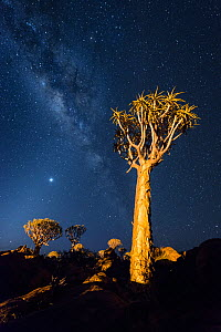 Quiver trees below night sky. Quiver Tree Forest, Keetmanshoop, Namibia. February 2012. Non-ex. - Hougaard Malan