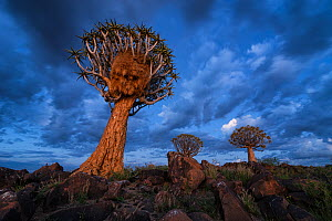 Quiver trees against blue twilight sky. Quiver Tree Forest, Keetmanshoop, Namibia. March 2012. Non-ex. - Hougaard Malan
