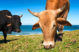 Nguni cows grazing on the coastal hills, Wild Coast, Eastern Cape, South Africa. May 2013. Non-ex.  -  Hougaard Malan