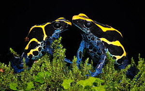 Two Dyeing dart frogs (Dendrobates tinctorius) against background, captive occurs in Guiana, Suriname, Brazil, and  French Guiana. Available for on-line use only.  -  Michael  D. Kern