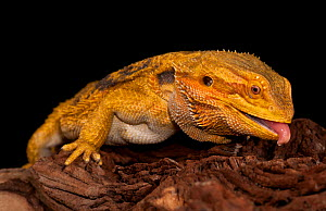 Bearded dragon (Pogona vitticeps) sticking out tongue, captive, occurs in Australia. Available for on-line use only.  -  Michael  D. Kern