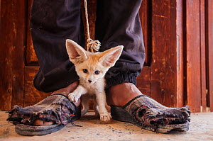 Young Fennec fox (Vulpes zerda) cub, offered for sale to the photographer by the young man who trapped it in the desert. Kebili Region, Tunisia. May 2014. Winner of the World in our Hands category, Wi...  -  Bruno D'Amicis