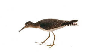 Solitary Sandpiper (Tringa solitaria), Berbice wallaba forest, Guyana, September. Meetyourneighbours.net project.  -  MYN / Andrew Snyder