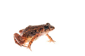 Chirping frog (Adenomera andrae), Kanuku Mountains, Guyana, July. Meetyourneighbours.net project.  -  MYN / Andrew Snyder