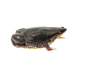 Surinam oval frog (Elachistocleis surinamensis), Kanuku Mountains, Guyana, July. Meetyourneighbours.net project. - MYN / Andrew Snyder