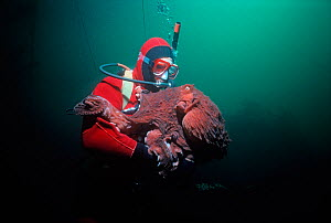 Giant Pacific Octopus (Enteroctopus dofleini) weighing over 20 Kilos interacting with a diver. Victoria Island, British Columbia, Canada. Pacific ocean.  -  Jeff Rotman