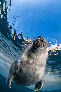 Young Baikal seal (Pusa sibirica) at breathing hole. Lake Baikal, Russia, April. - Olga Kamenskaya