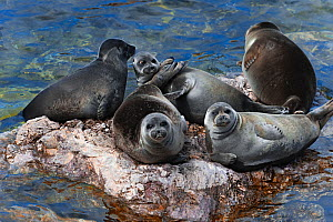 Baikal seals (Pusa sibirica) hauled out on rock. Endemic to Lake Baikal. Russia, May. - Olga Kamenskaya
