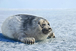 Baby Baikal seal (Pusa sibirica) on ice. Lake Baikal, Russia, April. - Olga Kamenskaya