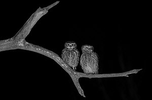 Little owl (Athene noctua) pair, taken at night with infra-red remote camera trap, Mayenne, France, March.  -  Eric  Medard