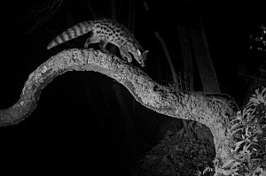 Common genet (Genetta genetta) on branch, taken at night with infra-red remote camera trap, France, January.  -  Eric  Medard