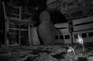 House mice (Mus musculus) fighting in a basement. Taken at night with infra-red remote camera trap, Mayenne, France, May.  -  Eric  Medard