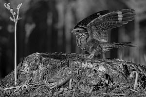 Nightjar (Caprimulgus europaeus) taken at night with infra-red remote camera trap, Mayenne, France, June. - Eric  Medard