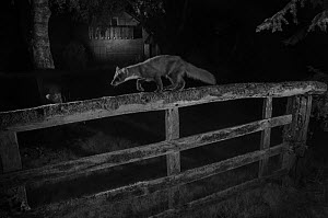 Pine marten (Martes martes) walking along  garden fence. Taken at night with infra-red remote camera trap, France, May.  -  Eric  Medard