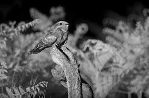 Nightjar (Caprimulgus europaeus) perched on post,  taken at night with infra-red remote camera trap, Mayenne, France, June. - Eric  Medard
