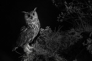 Eurasian eagle owl (Bubo bubo) perched with prey offering for female. Taken at night with infra-red remote camera trap, Hautes-Pyrenees, France, March.  -  Eric  Medard