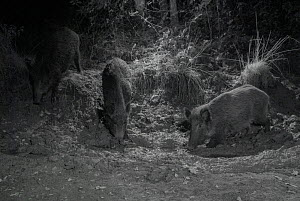 Wild boar (Sus scrofa) in muddy forest clearing, taken at night with infra-red remote camera trap, Mayenne, France, September.  -  Eric  Medard