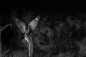 Nightjar (Caprimulgus europaeus) flying, taken at night with infra-red remote camera trap, Mayenne, France, June. - Eric  Medard