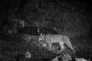 Eurasian lynx (Lynx lynx) taken at night with infra-red remote camera trap, Jura Mountains, Switzerland, March.  -  Eric  Medard