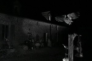Little owl (Athene noctua) flying to perch outside country house. Taken at night with infra-red remote camera trap, Mayenne, France, May.  -  Eric  Medard