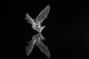 Grey long-eared bat (Plecotus austriacus) drinking in flight, taken at night with infra-red remote camera trap. Mayenne, France, July. - Eric  Medard