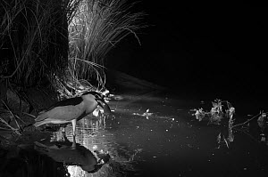 Black-crowned night-heron (Nycticorax nycticorax) with catfish prey, taken at night with infra-red remote camera trap. Rhone, France, May.  -  Eric  Medard