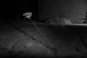 Little owl (Athene noctua) perched on handle of garden fork, taken at night with infra-red remote camera trap. Mayenne, France, February.  -  Eric  Medard