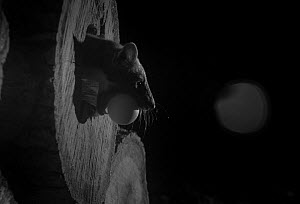 Pine marten (Martes martes) in hollow log with an egg, taken at night with infra-red remote camera trap, France, October.  -  Eric  Medard