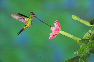 Sword-billed Hummingbird (Ensifera ensifera) male feeding from passionflower (Passiflora mixta), Papallacta, Ecuador, Andes, South America. January. - Rolf Nussbaumer
