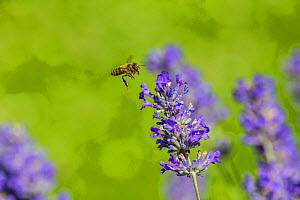 European honey bee (Apis mellifera) in flight, feeding on Lavender (Lavandula sp). Monmouthshire, Wales, UK, July. - Phil Savoie