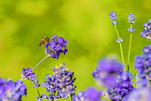 European honey bee (Apis mellifera) feeding on Lavender (Lavandula sp). Monmouthshire, Wales, UK, July. - Phil Savoie