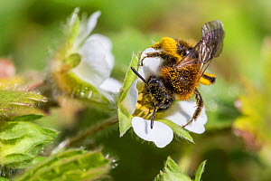 Mining bee (Andrena sp) covered in pollen, feeding on Wild strawberry (Fragaria vesca). Monmouthshire, Wales, UK, March. - Phil Savoie