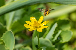 Mining bee (Andrena sp) in flight, feeding on Lesser celandine (Ranunculus ficaria). Monmouthshire, Wales, UK, April.  -  Phil Savoie
