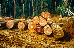 Cut trees in the Waka forest, Gabon, Central Africa, 2008-2009.  -  Steve O. Taylor (GHF)