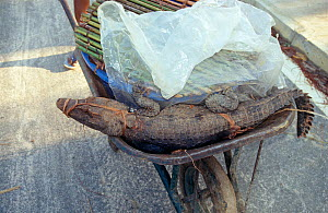 Young Dwarf crocodile (Osteolaemus tetraspis) in wheelbarrow to be sold at market, Oyo, central Republic of the Congo (Congo-Brazzaville). 2008-2009. - Steve O. Taylor (GHF)