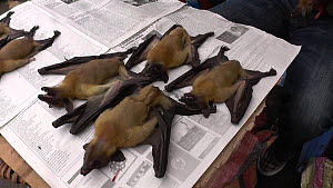 Straw-coloured fruit bats (Eidolon helvum), thought to be the natural reservoir of the Ebola virus, for sale in Brazzaville market, Republic of the Congo, 2013.  -  Steve O. Taylor (GHF)