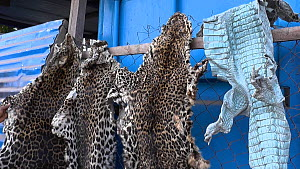 Leopard skins for sale in Kinshasa market, footage filmed covertly, Democratic Republic of the Congo, 2013.  -  Steve O. Taylor (GHF)