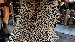 Leopard skin for sale in Kinshasa market, footage filmed covertly, Democratic Republic of the Congo, 2013.  -  Steve O. Taylor (GHF)