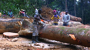 People,African Descent,Man,Group,Group Of People,Large Group Of People,Many,Africa,Central Africa,Gabon,Gabonese Republic,Moving Image,Footage,Sound,Plant,Log,Logs,Equipment,Work Tool,Tool,Tools,Work... - Workers sawing up logged rainforest trees in a forestry concessi