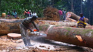 People,African Descent,Man,Group,Group Of People,Africa,Central Africa,Gabon,Gabonese Republic,Moving Image,Footage,Sound,Plant,Log,Logs,Equipment,Work Tool,Tool,Tools,Work Tools,Saw,Saws,Timber,Outdo... - Workers sawing up logged rainforest trees in a forestry concessi