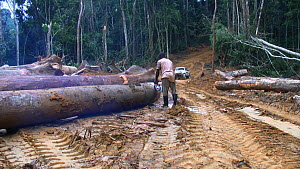 People,African Descent,Man,Africa,Central Africa,Gabon,Gabonese Republic,Moving Image,Footage,Sound,Plant,Log,Logs,Equipment,Work Tool,Tool,Tools,Work Tools,Saw,Saws,Timber,Outdoors,Environment,Enviro... - Worker sawing up logged rainforest trees in a forestry concessio
