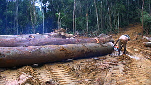 People,African Descent,Man,Group,Group Of People,Africa,Central Africa,Gabon,Gabonese Republic,Moving Image,Footage,Sound,Panning,Plant,Log,Logs,Equipment,Work Tool,Tool,Tools,Work Tools,Saw,Saws,Chai... - Panning shot of workers sawing up logged rainforest trees in a f