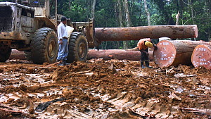 People,African Descent,Man,Two,Africa,Central Africa,Gabon,Gabonese Republic,Moving Image,Footage,Sound,Panning,Tracking Shot,Plant,Log,Logs,Equipment,Land Vehicle,Timber,Outdoors,Environment,Environm... - Panning shot following the forestry manager walking amongst logg