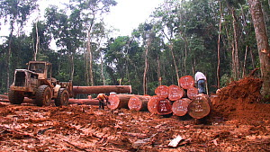 People,African Descent,Man,Motion,Africa,Central Africa,Gabon,Gabonese Republic,Moving Image,Footage,Sound,Wide Shot,Plant,Log,Logs,Equipment,Land Vehicle,Timber,Outdoors,Environment,Environmental Iss... - Wide shot of workers inspecting and moving logged rainforest tre